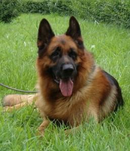 German-Shepherd-Dog-2