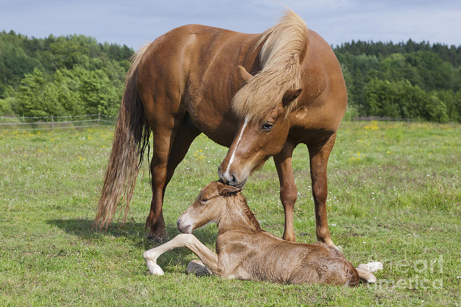 chestnut-icelandic-horse-with-newborn-foal-kathleen-smith