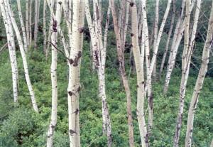 6482-Aspen-forest-web