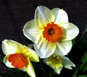 Daffodils at greenhouse sm